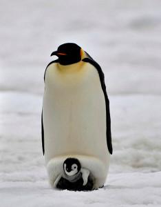 Emperor Penguins: Dad keeping baby warm. Photo: ~laogephoto