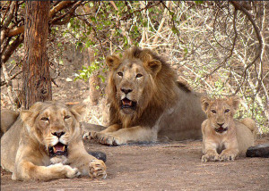 Animal dads, lion family